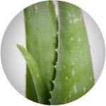 ALOE VERA – Aloe Barbadensis Leaf Juice*