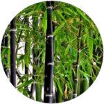 Listoklasec (bambus) černý