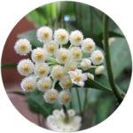 HOYA LACUNOSA FLOWER EXTRACT